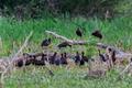 glossy ibis ( plegadis falcinellus ) in natural habitat - PhotoDune Item for Sale