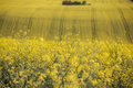 Close up on rape field - PhotoDune Item for Sale