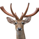 eld deer (Rucervus eldi) head isolated - PhotoDune Item for Sale