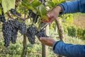a vineyard red grapes harvest - PhotoDune Item for Sale