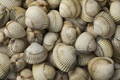 Fresh raw common cockles - PhotoDune Item for Sale