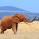 Elephant on savannah in Africa - PhotoDune Item for Sale