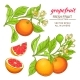Grapefruit Vector Set - GraphicRiver Item for Sale