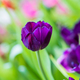 Purple tulips in the garden-6 - PhotoDune Item for Sale