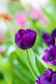Purple tulips in the garden-6 - PhotoDune Item for Sale