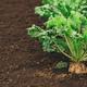 Sugar beet root crop organically grown - PhotoDune Item for Sale