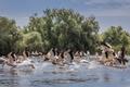 white pelicans in Danube Delta, Romania - PhotoDune Item for Sale