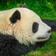 Giant panda bear in China - PhotoDune Item for Sale