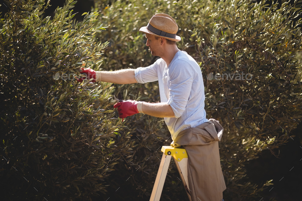Young man using ladder for plucking olives at farm - Stock Photo - Images