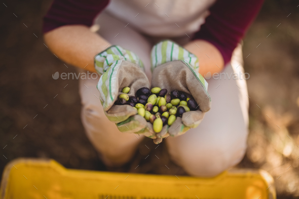 Mid section of woman collecting olives in crate - Stock Photo - Images