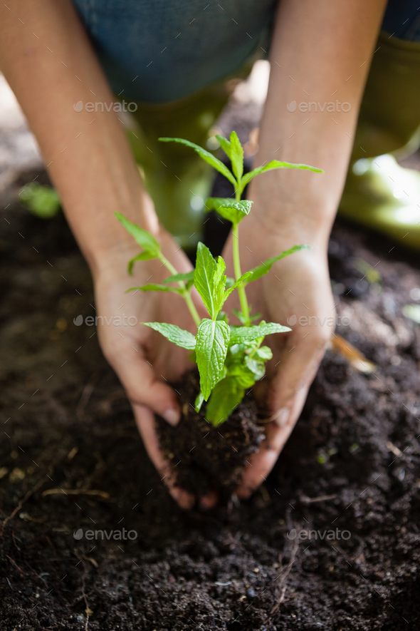 Cropped hands of female planting seedling on dirt - Stock Photo - Images