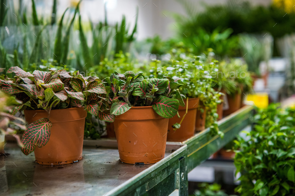 Coniferous garden plants being sold in plant nursery - Stock Photo - Images