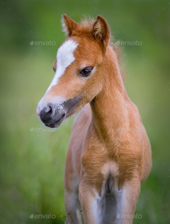 American Miniature Horse. Portrait chestnut foal with blaze faci - Stock Photo - Images