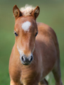 Portrait chestnut foal with white star. - PhotoDune Item for Sale