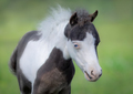 American Miniature Horse. Portrait close up of pinto foal with b - PhotoDune Item for Sale