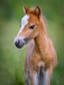 American Miniature Horse. Portrait chestnut foal with blaze faci - PhotoDune Item for Sale