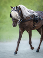 Carriage driving American Shetland Pony. - PhotoDune Item for Sale