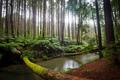 Californian Redwood Forest - PhotoDune Item for Sale