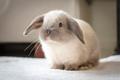 Mini Lop Rabbit - PhotoDune Item for Sale