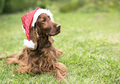 Cute christmas pet dog with Santa Claus hat - PhotoDune Item for Sale