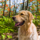 Golden Retriever portrait in fall sitting in the forest - PhotoDune Item for Sale