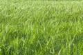 Green wheat field - PhotoDune Item for Sale