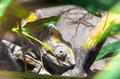 Chameleon Furcifer Pardalis Ambilobe - PhotoDune Item for Sale