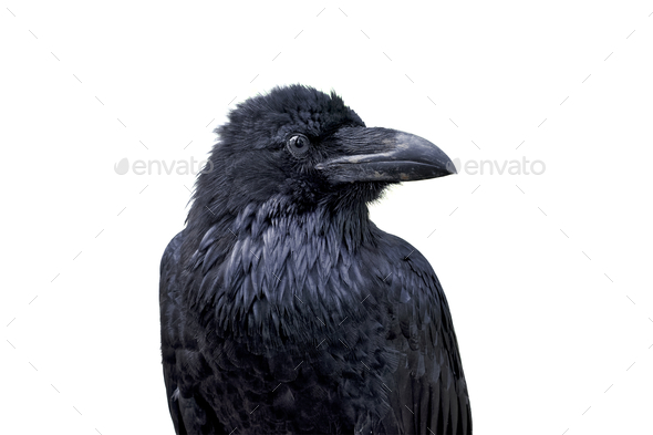 Portrait of common raven (Corvus corax) on a white background - Stock Photo - Images