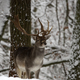 Fallow deer in winter - PhotoDune Item for Sale