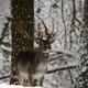 Fallow deer in winter - PhotoDune Item for Sale