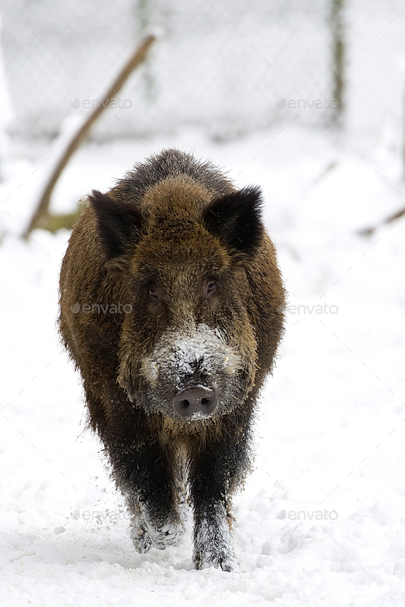 Wild boar in winter  - Stock Photo - Images