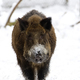 Wild boar in winter  - PhotoDune Item for Sale