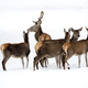 Red deer in winter  - PhotoDune Item for Sale
