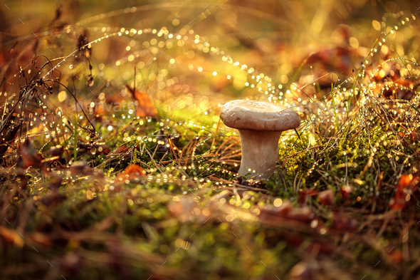 Mushroom Boletus In a Sunny forest in the rain. - Stock Photo - Images