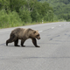 Hungry Kamchatka Brown Bear Walks along an Asphalt Road - PhotoDune Item for Sale