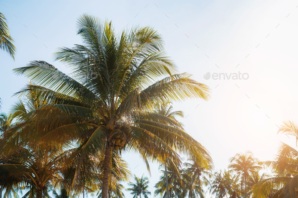Coconut tree with sunlight - Stock Photo - Images