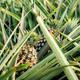 Pineapple on plantation - PhotoDune Item for Sale