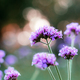 Purple flower with sunrise - PhotoDune Item for Sale