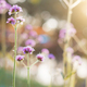 Verbena with sunrise - PhotoDune Item for Sale
