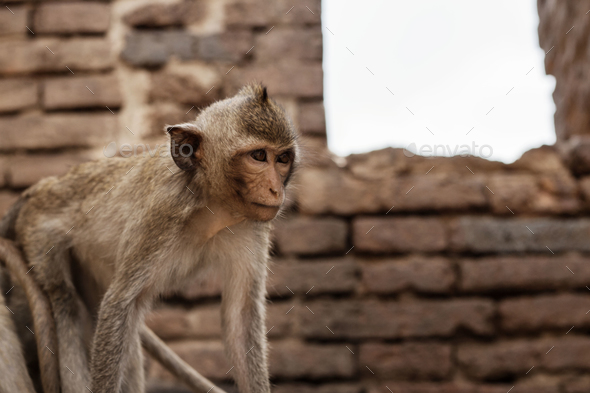 Monkey in farm on brick - Stock Photo - Images