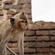 Monkey in farm on brick - PhotoDune Item for Sale