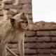 Monkey in farm on brick - PhotoDune Item for Sale