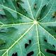 Leaves papaya with background - PhotoDune Item for Sale