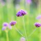 Verbena with beautiful in winter - PhotoDune Item for Sale