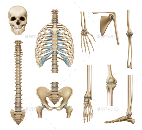 Realistic Human Skeleton Parts Set by macrovector | GraphicRiver