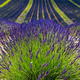 Plateau de Valensole (Provence), lavender - PhotoDune Item for Sale