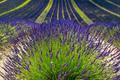Plateau de Valensole (Provence), lavender - PhotoDune Item for Sale