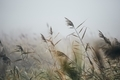 Reeds in gloomy autumn morning - PhotoDune Item for Sale