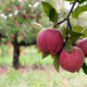 Red apples on a branch ready to be harvested - PhotoDune Item for Sale