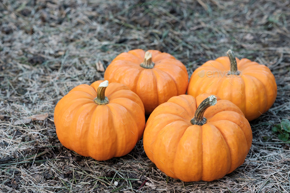 Pumpkins in the field - Stock Photo - Images